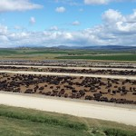 Rangers Valley Cattle - view from the tower 2